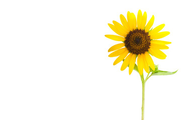 Sunflower (Helianthus) close up on white background with copy space isolate on white background with clipping path