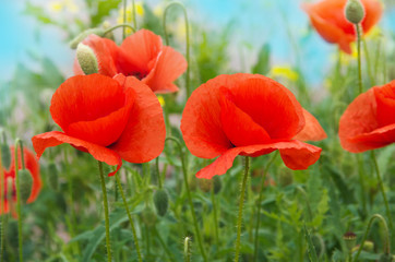 Wall Mural - Field of red poppies