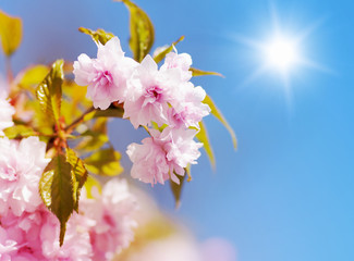 Sakura cherry flower blossom in spring
