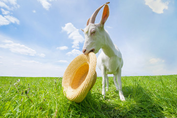White goat on a green meadow with a straw hat