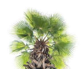 Borassus flabellifer,Sugar palm, Cambodian palm isolated on whit