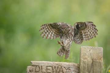 Little owl landing upon an old bridleway signpost