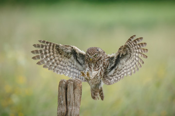 Little owl lands upon a fence post