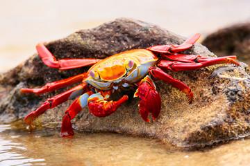 Sally lightfoot crab feeding on Chinese Hat island, Galapagos Na