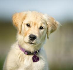 Cute Young Golden Retriever Puppy
