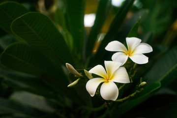 Closeup beautiful white frangipani or plumeria on tree