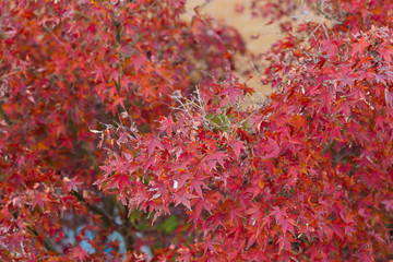 Red maple in autumn season, selective focus, natural background