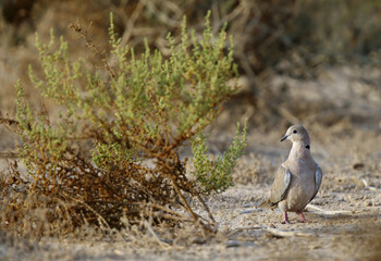 The Eurasian collared dove are most often called as collared dov