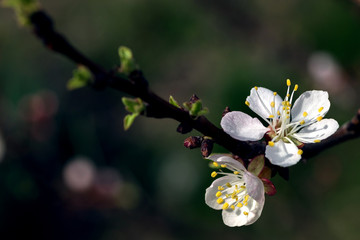 photo of white apricot tree flowers in spring