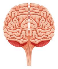 Close up human brain