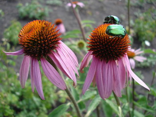 Eastern purple coneflower flowers (rudbeckia) with green chafer beetles