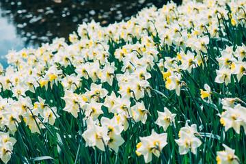 Aluminium Prints Narcissus flower garden