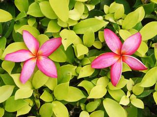 pink plumeria flower on green bush background