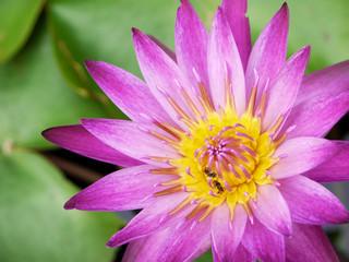 Closeup Bee pollen Lotus,Purple flowers