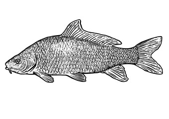 scale, fin, water, food, fish, illustration, engrave, line, drawing, vintage, vector, fishing, carp