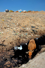 Bali, Indonesia - April 30, 2016: As garbage trucks dump trash, a cow drinks contaminated water next to toxic waste at the biggest and most polluted landfill site in Bali, Indonesia.