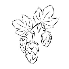 Hop vine with flowers (seed cones). Hand drawn vector illustration  (silhouette sketch).