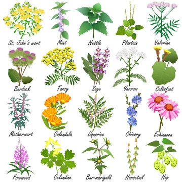 Medicinal and healing herbs collection. Hand drawn set of botanical vector illustrations, isolated on white.
