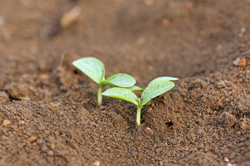 Young pumpkin sprouts in the planting