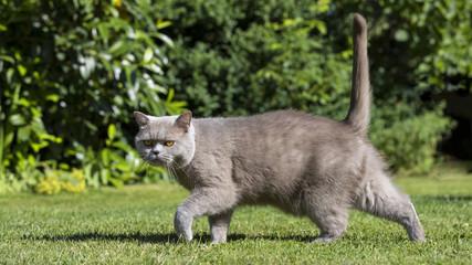 Britisch Kurzhaar läuft im Garten und schaut