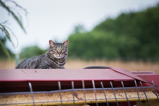 Manx cat laying on farm implement