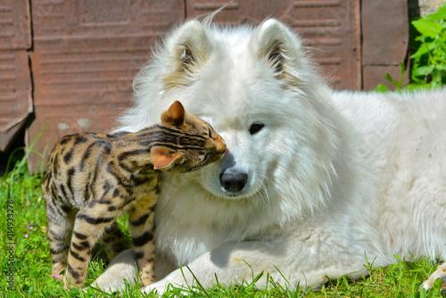 """Image De Chat Et De Chien chien et chat, chien samoyède et chat de bengale"""" stock photo and"""