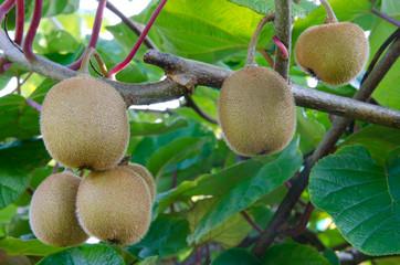 Kiwi shrub