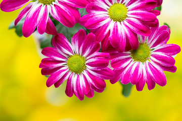 Pink chrysanthemum  on yellow backgrounds.