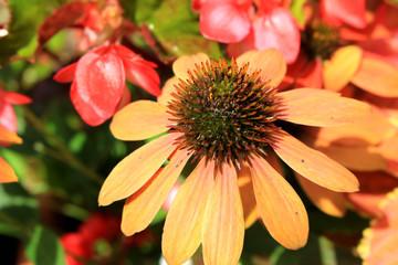 Echinacea herb garden
