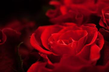 Elegant red rose macro