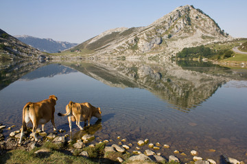 Landscape of a cows drinking water from a lake with mountains and reflection, in Lago Enol of Covadonga, Asturias, Spain.