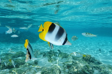 Tropical fish, Pacific double-saddle butterflyfish, Chaetodon ulietensis, underwater in the lagoon of Moorea, Pacific ocean, French Polynesia