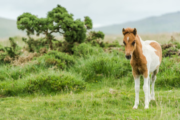 young wild pony horse