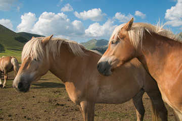 Portrait of two haflinger horses