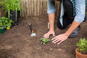 Male gardener planting at greenhouse