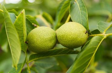 Green walnuts growing