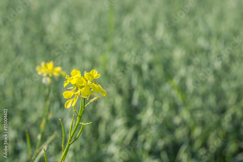 Blüte einer wilden Rauke
