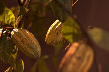 Cacao pods on a tree.