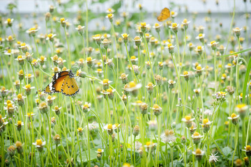 Close up butterfly, butterfly and flower field