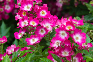 Pink roses blossom in the garden