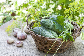 Fresh cucumbers in wicker basket with flowers dill and garlic on green summer background