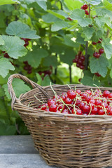 Fresh ripe sweet red currant in wicker basket on berry bush background