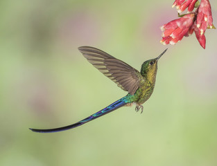 Violet-Tailed Sylph InFlight - A male Violet-tailed Sylph hummingbird is about to extract nectar from a flower.