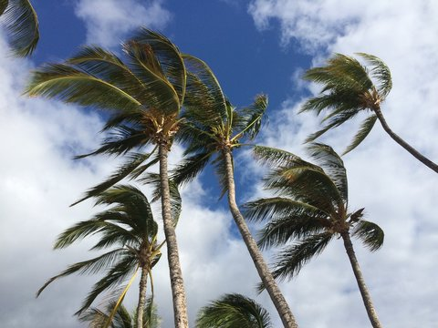 Palm trees blowing on a windy day #2