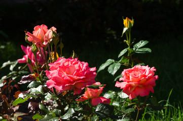 Shrub of roses sunlit
