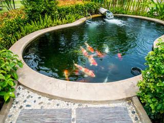 koi fish in koi pond in the garden