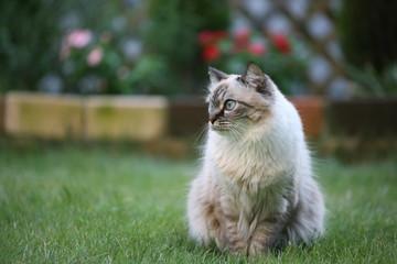 ミックスの雌猫です。午後の庭にて撮影。背景の色とのバランスを考慮し、コピースペースもある程度確保しました。