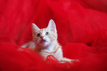 Red-headed   kitten over a red background