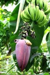 Banana tree tropical fruit flower