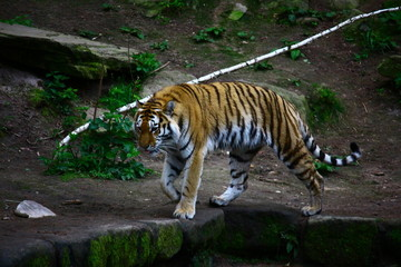 Raubkatze - Tiger am Ufer